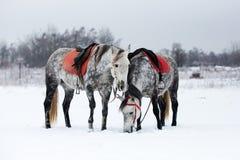 Horses on white snow. Grey horses on white snow Royalty Free Stock Photos