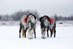 Horses on white snow. Grey horses on white snow Stock Photography
