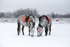 Horses on white snow. Grey horses on white snow Royalty Free Stock Images