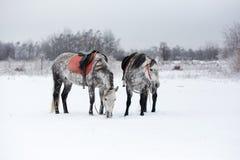 Horses on white snow Royalty Free Stock Photo