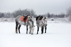 Horses on white snow. Grey horses on white snow Royalty Free Stock Photo