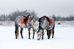 Horses on white snow. Grey horses on white snow Stock Images
