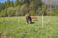 Horses who graze Royalty Free Stock Photo