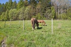 Horses who graze Royalty Free Stock Photo
