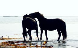 Horses wild Royalty Free Stock Images