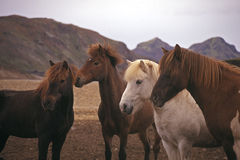 Horses in the wild Stock Images