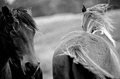 Horses in the wild. Horses feeling free on the hills Royalty Free Stock Images