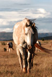 Horses in the wild in New Mexico. Quarterhorse walking to me in the beautiful scenery a prairie, new mexico, USA royalty free stock photos