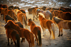 Horses in the wild. A herd of horses in the wild Royalty Free Stock Photos