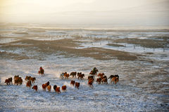 Horses in the wild. A herd of horses in the wild Stock Photos