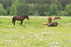Horses in a wild Royalty Free Stock Photography