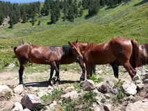 Horses in the wild nature of the mountains stock photo