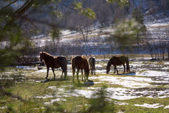 Horses. Wild horses in spring forrest Royalty Free Stock Photos