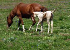 Horses and Wildflower Meadow. This image of the mother horse and colt in the wildflower meadow was taken in Montana Royalty Free Stock Photo