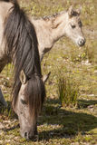 Horses, wildhorses Royalty Free Stock Images