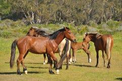 Horses in wildlife Stock Image
