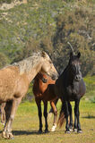 Horses in wildlife Royalty Free Stock Photos