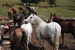 Horses on the  wildness. At the mountains Stock Photo