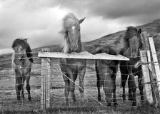 Horses on windy day. Four Icelandic horses stand at a fence on a windy, cloudy day. Black and white Royalty Free Stock Photo
