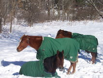 Horses in winter. Three horses trying to stay warm in a Vermont winter under their blankets Stock Photography
