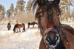 Horses in winter Royalty Free Stock Photography