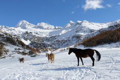 Horses during winter. Horses walking in the snow in Cheneil (Valtournenche - ITALY Royalty Free Stock Image