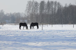 Horses in winter. A horse in pasture in winter Stock Photos