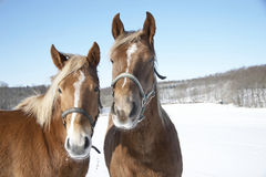 Horses in winter Royalty Free Stock Photo