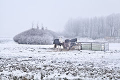 Horses on winter cold pasture Royalty Free Stock Images