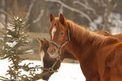 Horses in winter day Stock Image