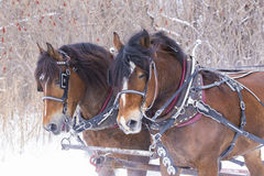 Horses in winter Stock Image