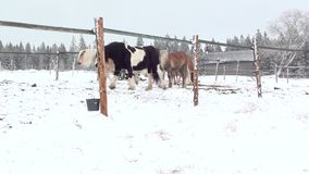 Horses in winter stock footage