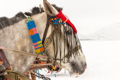 Horses and Winter Landscape. Standing on the snow, Local Embellished Horses and Winter Landscape Royalty Free Stock Photo