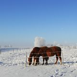 Horses in Winter Pasture. Two chestunt horses graze together against a winter background Stock Images