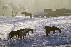 Horses on winter pasture Royalty Free Stock Photos