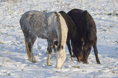Horses on winter pasture Stock Images