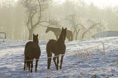 Horses on winter pasture Stock Photo