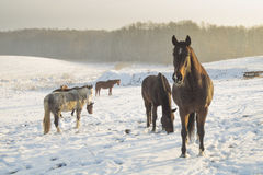 Horses on winter pasture Royalty Free Stock Images