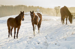 Horses on winter pasture Royalty Free Stock Image