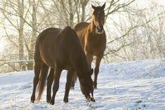 Horses on winter pasture Stock Image