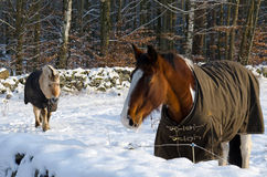 Horses in winter season Royalty Free Stock Photo
