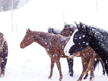 Horses winter snow. Horses in heavy snow fall with snow all over her Royalty Free Stock Photo