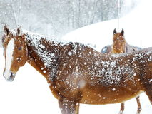 Horses winter snow. Horses in heavy snow fall with snow all over her Stock Image