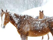 Horses winter snow Stock Image