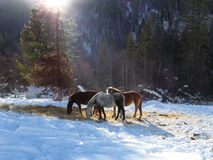 Horses in winter in sunlight. White and brown horses in winter in sunlight stock images