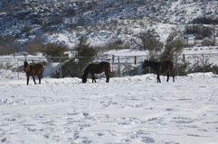 Horses in the winter time. Three horses in the snow Royalty Free Stock Image