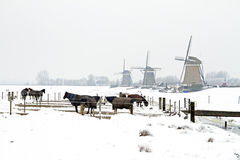 Horses in winter with traditional windmills in the Netherlands Royalty Free Stock Photography