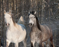 Horses in winter. Horses in a winter walking royalty free stock photos