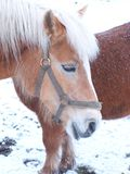 Horses in wintertime. Two horses standing outside during the wintertime Royalty Free Stock Photography