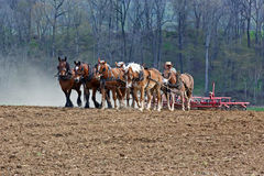 Horses Working on Amish Farm. A team of horses and mules pull a spring-tooth harrow with soil rollers on an Amish farm in Lancaster County, Pennsylvania Royalty Free Stock Image